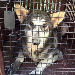 chiens maltraités