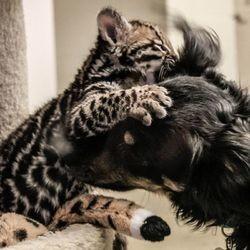 un chaton sauvage et son ami le chien