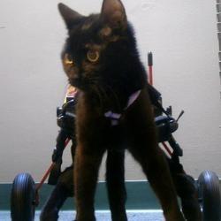 chat handicapé réapprend à marcher