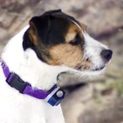 chien collier électrique