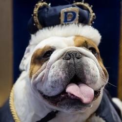 le plus beau bulldog du monde