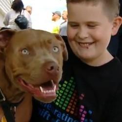 pibull, chien héros