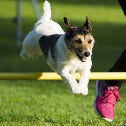 chien agility, sport canin