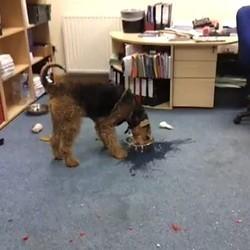 chien boit gamelle eau salement