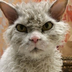 albert chat star , Selkirk Rex