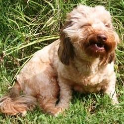 allergie chien hypoallergenique