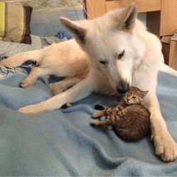 chaton chien de berger