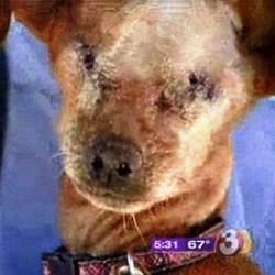 maltraitance chien andre pinscher yeux