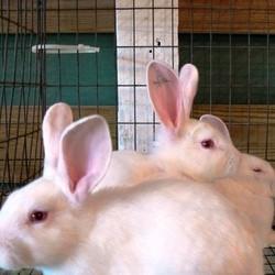animaux laboratoire