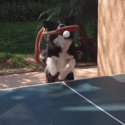 chien ping pong