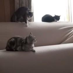 chat attaque chute