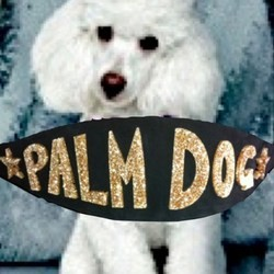 le caniche baby dog a remporté la palm dog lors du festival de cannes