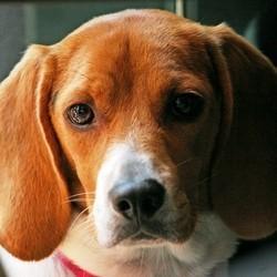chien de race beagle libéré d'un labo de tests
