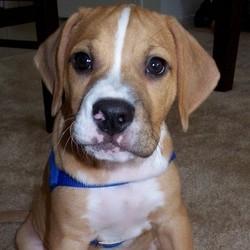 chiot beagle aboie