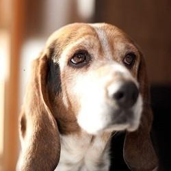 beagle croisé
