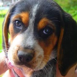 chienne beagle maltraitée cambrai