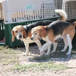 beagle, chien de laboratoire