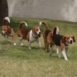 Des beagles de laboratoire découvrent la liberté