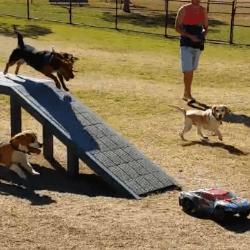 Beagles chassant une voiture téléguidée
