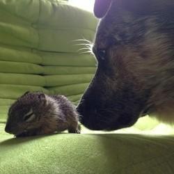 un bébé écureuil orphelin adopté par des chiens