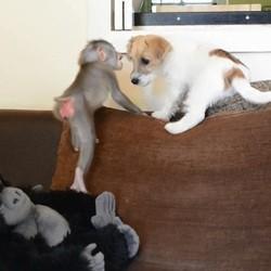 un bébé singe et un chiot Jack Russell