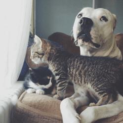 un Pitbull à 3 pattes devenue la maman adoptive de chatons