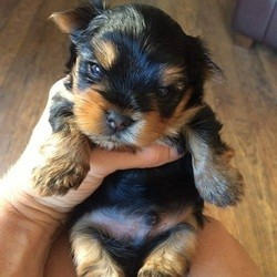 chiot yorkshire