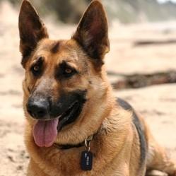 chiens préférés français berger allemand
