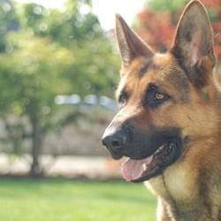 le berger allemand est la race de chien préférée des français