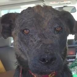 le sauvetage et la métamoprhose d'une chienne errante