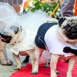 Deux Carlins se marient