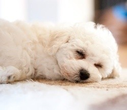 chien guide pour sourds et malentendants sauve sa maîtresse