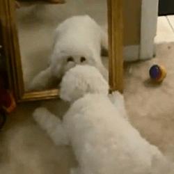 bichon face à un miroir