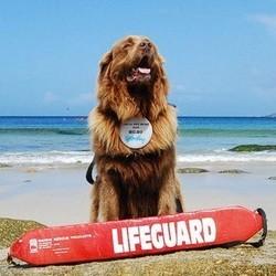 bilbo terre neuve, chien sauveteur en mer