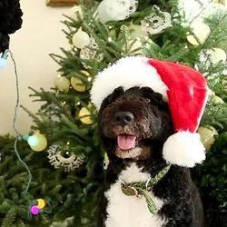 bo, le chien de Barack Obama inspecte les décorations de Noël de la maison blanche