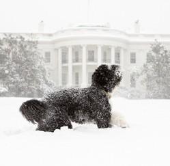 Bo Obama chien d'eau portugais neige