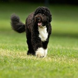 chien d'eau portugais bo obama chien allergie