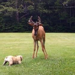 un bouledogue français joue avec un cerf