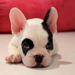 bouledogue français, petit chien