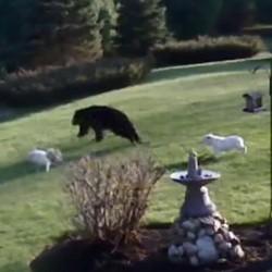 deux bouledogues effraient un ours