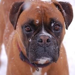 chien boxer, chien héros