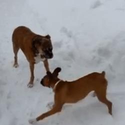 boxer joue dans la neige