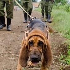 chiens contre braconnage elephants congo