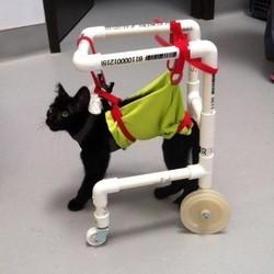 bruce lee, un chaton paralysé qui apprend à marcher