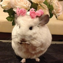 BuBu, chinchilla star du web
