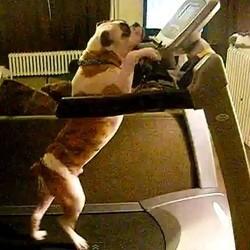 Le chien qui veut marcher comme un humain vid o du jour vid os wamiz - Tapis de course pour chien ...