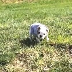 Bulldog roulant