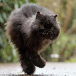 un chat marche avec seulement 2 pattes