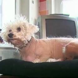 chien sans poil canape conforama