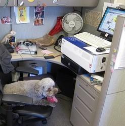 Caniche au travail